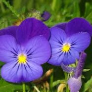 Regardez ! Regardez bien la violette !